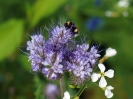 Blühwiese der Naturheilpraxis Tapken_7